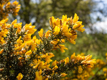 Gorse Bush In Bloom
