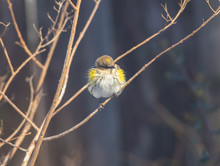 Yellow-rumped Warbler (Setopha...