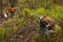 Red Fox And Silver Fox (Vulpes...