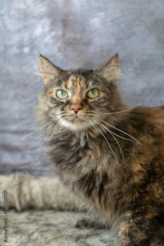 Long Haired Tortie Cat