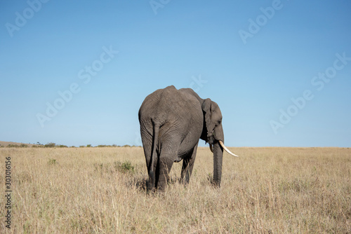 Elephant at Maasai Mara in Kenya