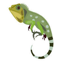 Green Iguana Lizard. Isolated ...