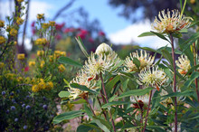 Hardy, Drought Tolerant Water-wise Australian Spring Garden With White Shady Lady Waratahs, Telopea Speciosissima, And Yellow Broad Leaf Drumstick Flowers, Isopogon Anemonifolius, Under A Blue Sky