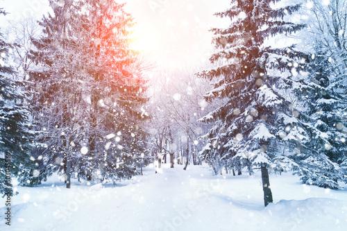 Fototapeta Winter fir tree christmas scene with sunlight. obraz na płótnie