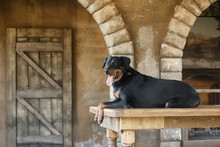 A Large Black Dog Of The Breed Beauceron (French Shepherd) Lies On The Background Of An Old Interior