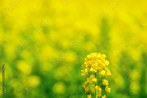 Photo 菜の花