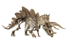 Fossil Skeleton Of Dinosaur Stegoceratops Isolated