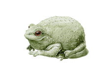 Common Cute Green Toad Or Frog Watercolor Illustration. Close Up Amphibia Graphic Image. Green Frog Single Element. Forest Toad Isolated On White Background.