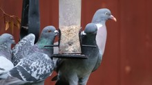 Feral Pigeons Stealing Seed From Small Bird Feeder In Urban Garden.