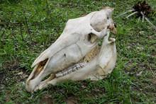 Close Up Of Horse Skull On Green Grass, Pantanal Wetlands, Mato Grosso, Brazil