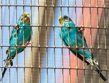 Budgies Are Sitting In A Cage