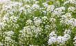 Leinwandbild Motiv Beautiful white flower in the garden