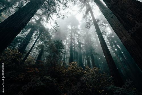 Fototapeta redwoods