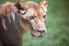 Close Up Portrait Of A Lioness Looking Sideways, Against A Green Bokeh Background