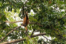 Spider Monkey In Costa Rica