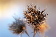 Thistle Plant Silybum Marianum...