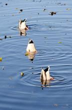Trio Of Diving Ducks In Juanit...
