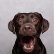 canvas print picture - Lustiger Labrador