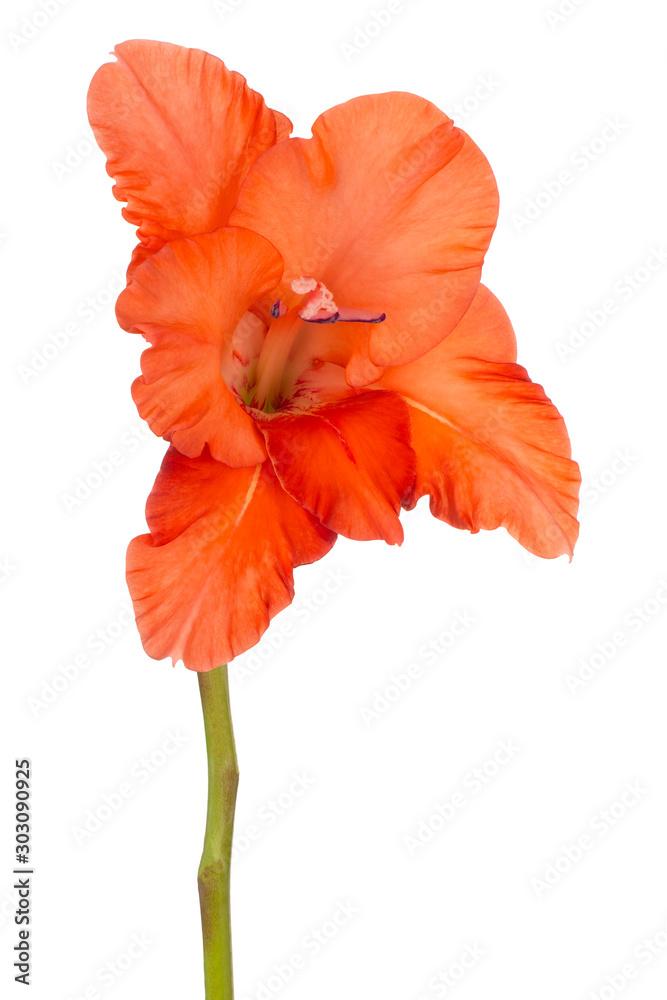 gladiolus flower isolated