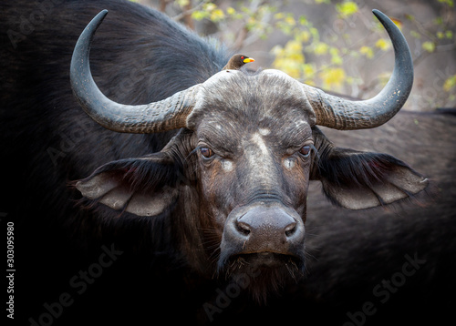 Deurstickers Buffel African Buffalo in the Kruger National Park