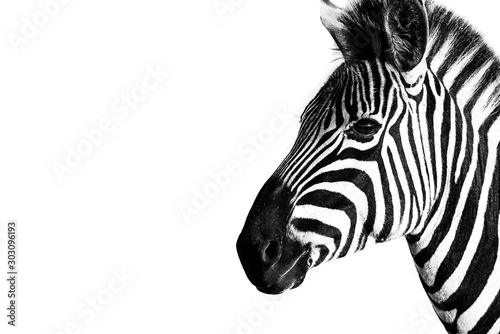 Burchells Zebra in the Kruger National Park South Africa Wallpaper Mural