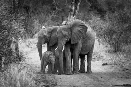 African Elephants in the kruger national park Wallpaper Mural