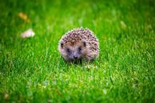 Hedgehog UK