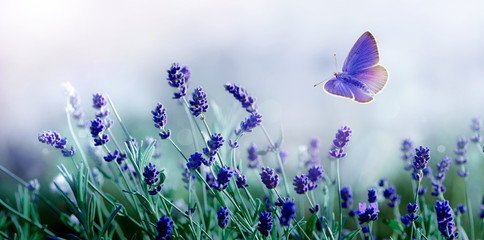 Panel Szklany Lawenda Blossoming Lavender and flying butterfly in nature.