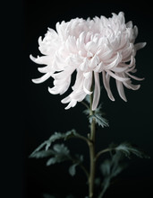 Beautiful White Chrysanthemum ...