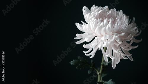 Stampa su Tela Beautiful white chrysanthemum flower on black background with copy space