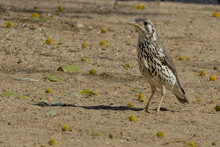 A Groundscraper Thrush In The Erongo Region Of Namibia