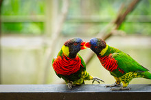 Beautiful Rainbow Lorikeet Bir...
