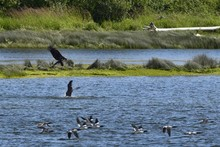 Young Bald Eagle Attacking A Canada Goose In The Water Near A Shoreline