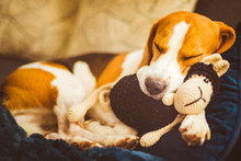 Adorable Beagle Dog Sleeping W...