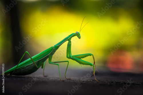 Fotografie, Obraz  Nice green mantis close up macro isolated color insect nature