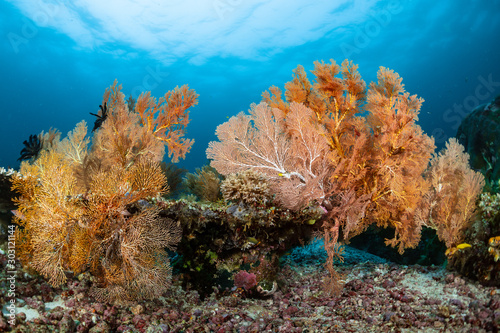 sea fan or gorgonian on the slope of a coral reef with visible water surface and fish