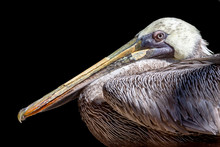 Portrait Of A Brown Pelican Is...