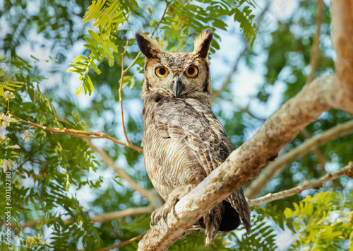 Close up of Great horned owl perched in a tree Canvas Print