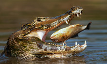 Close Up Of A Yacare Caiman Eating Piranha