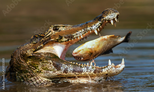 Fotografia, Obraz Close up of a Yacare caiman eating piranha