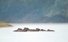 Group Of Capybaras Swimming In...