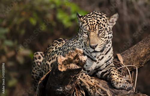 Close up of a Jaguar on a fallen tree Tableau sur Toile