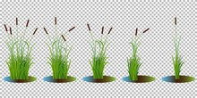 Vector Set Of Reed Stalk Bushes In Swamp Water Isolated On Transparent Background