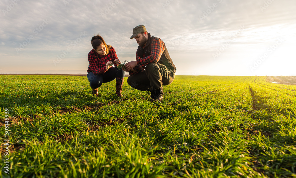 Fototapeta Young farmers examing  planted wheat
