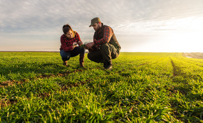 Young farmers examing  planted wheat