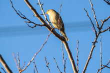 Close Photo Of A Little Tit Sparrow Bird On Dry Branches And On A Clear Blue Sky Background