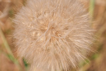 Salsify Flower Seeds Close-up. Big Giant Dandelion. Tragopogon Dubius, Common Salsify, Yellow Goatsbeard