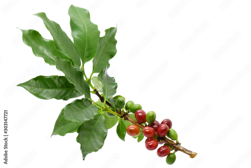 Fototapety, obrazy: Coffee berry red green on tree coffee and on white background.
