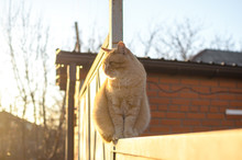 Fluffy Red Cat On A Fence In The Sunset Light, A Rustic Cat Sits