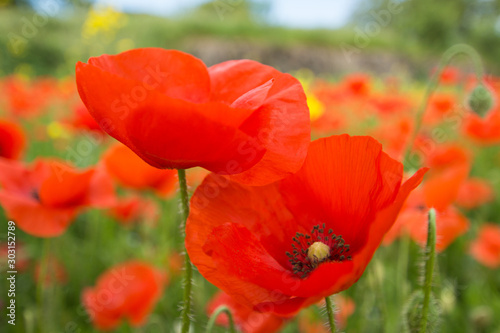 Obraz na plátně Close up of red poppy flowers in a field (Papaver rhoeas)